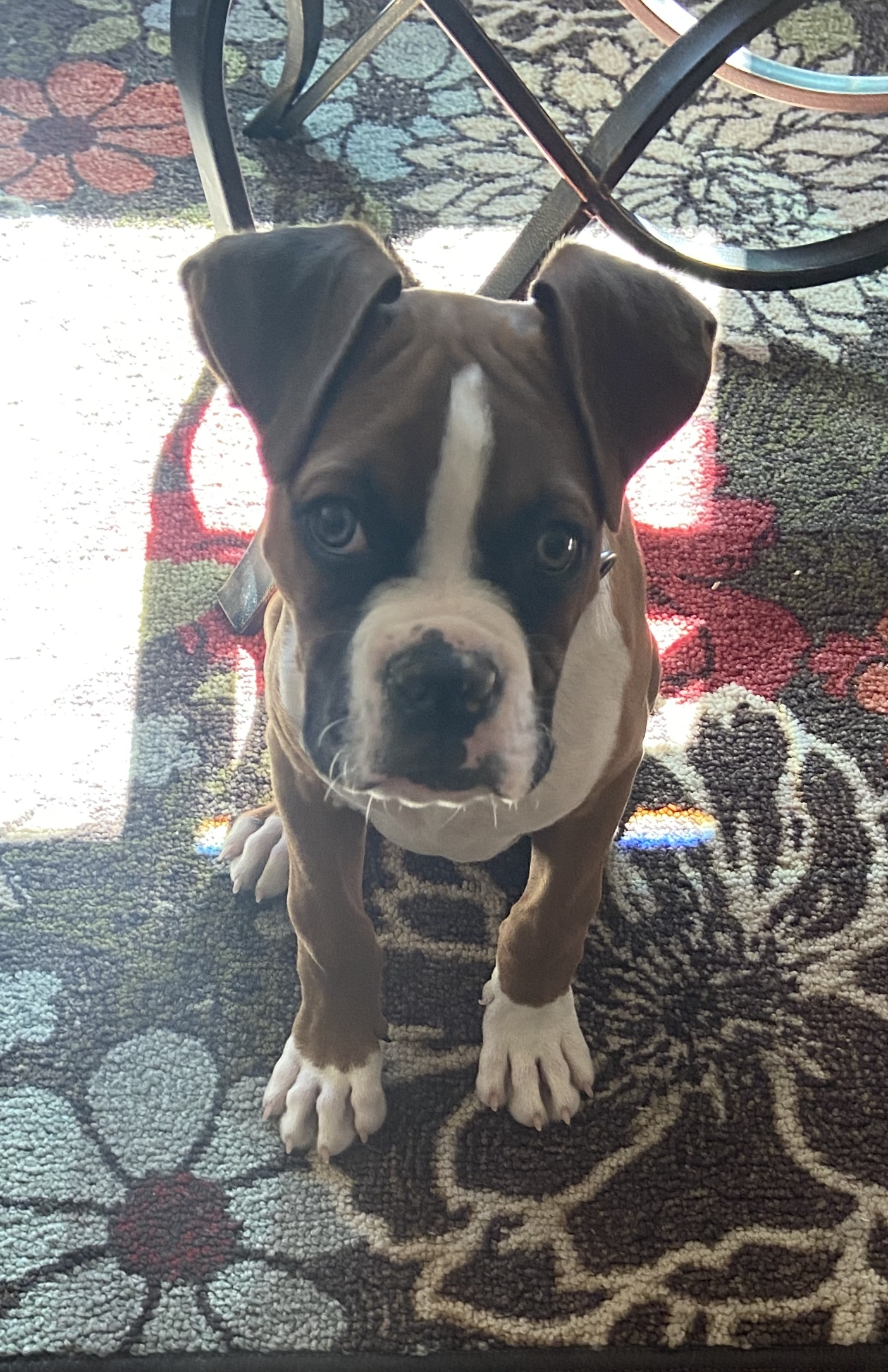 """This boxer puppy is named Charley Burley in honor of the Hall-of-Famer and, despite being 12 weeks old, he weighs in at a solid 19 pounds. His human, boxing broadcaster James """"Smitty"""" Smith, shares Charley's energy and zest for life. Photo credit: James """"Smitty"""" Smith"""